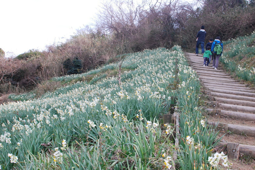 11 million daffodils bloom on Ogijima island