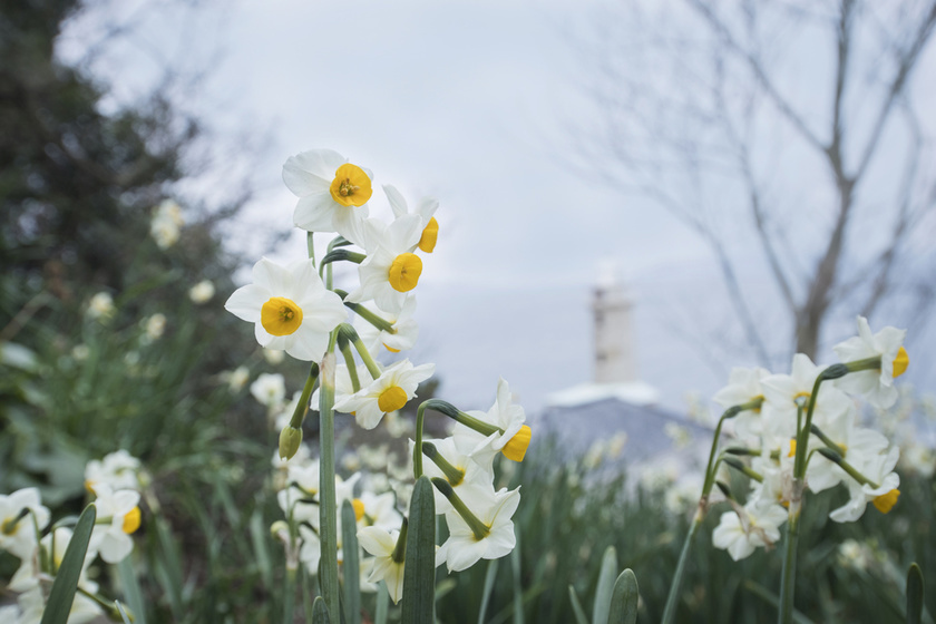 A large number of white daffodils were blooming on the slope, as if trying to surround the nearby walking trail.
