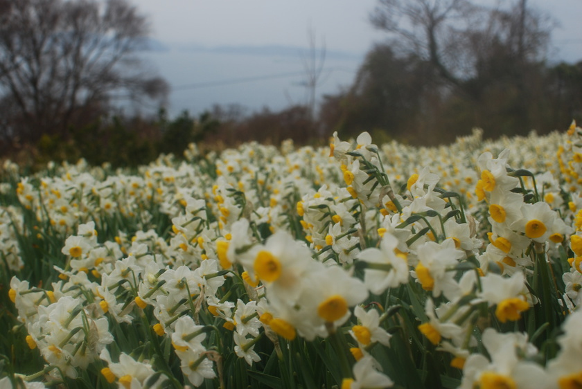 11 million daffodils bloom in Ogijima island