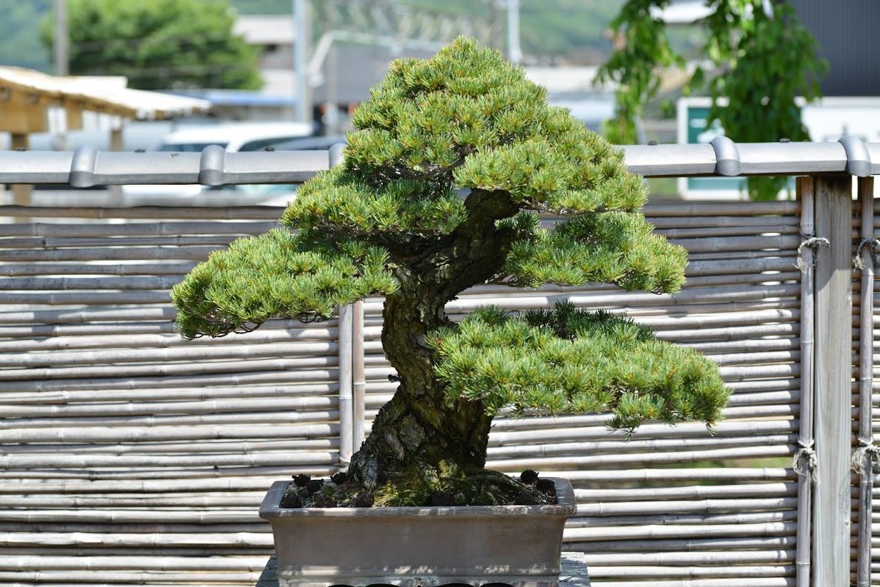 Takamatsu Bonsai Sanuki S Specialty And Living Art Travel In Takamatsu Experience Takamatsu